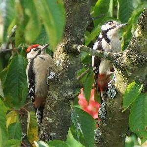 Greater Spotted Woodpeckers at Chediston Green garden